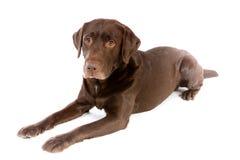 Labradora czekoladowy kłaść w białym studiu obraz royalty free