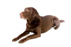 Labradora czekoladowy kłaść w białym studiu obrazy royalty free