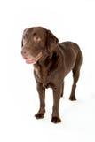 Labradora czekoladowy pozować w białym studiu zdjęcia royalty free