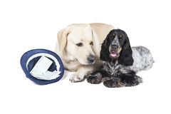 Labradora i spaniela psy pytają dla pieniądze Obraz Royalty Free