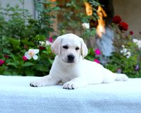 Labradora kwiat i szczeniak Fotografia Stock