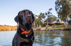 Labradora obsiadanie Zdjęcia Royalty Free