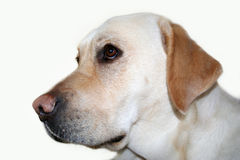 Labradora pies odizolowywający Zdjęcie Royalty Free