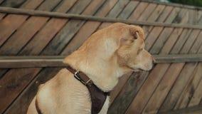 Labradora pies outdoors psi stra?owi zwierz?cia domowego sentry cakle zbiory wideo