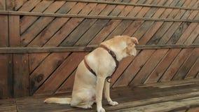 Labradora pies outdoors psi stra?owi zwierz?cia domowego sentry cakle zbiory