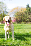 Labradora pies (2 roku) Fotografia Royalty Free