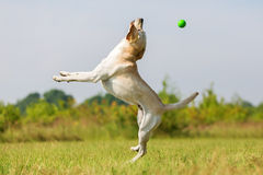Labradora pies skacze dla piłki Zdjęcia Stock