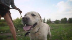 Labradora pies w zakończeniu up Żeński właściciela komes i przymocowywa smycz zdjęcie wideo