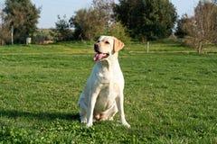 Labradora psi czekanie obraz royalty free