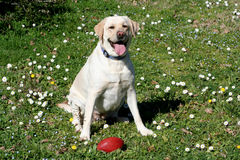 Labradora psi dopatrywanie Obraz Royalty Free