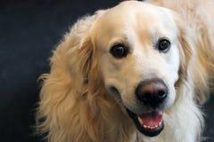 labradora psi złoty aporter Zdjęcie Stock