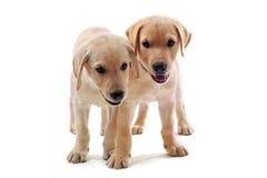 labradora szczeniaków aporter Zdjęcie Royalty Free