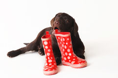 Labradora szczeniak żuć na gumowych butach na białym tle fotografia royalty free