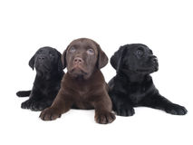 Labradora szczeniak Obrazy Stock