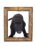 Labradora szczeniak Zdjęcia Stock