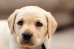 labradora szczeniak Zdjęcie Royalty Free