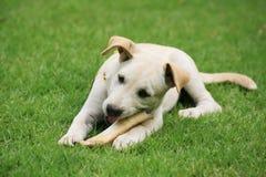Labradora szczeniak je dużą kość obraz stock