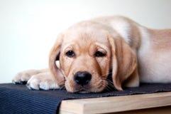 Labradora szczeniak kłaść w dół Obraz Stock