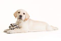 Labradora szczeniak z beżową piłką Obraz Royalty Free