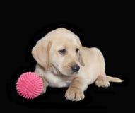 labradora szczeniaka aporter Zdjęcie Royalty Free