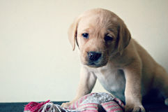 Labradora szczeniaka obsiadanie z ściśnięcie zabawką Zdjęcia Royalty Free