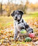 Labradora szczeniaka pies z r??nym kolorem ono przygl?da si? w jesieni tle zdjęcia stock