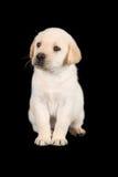 Labradora szczeniaka pozycja i spojrzenie smutni w studiu Obrazy Stock