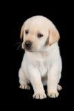 Labradora szczeniaka pozycja i spojrzenie smutni w studiu Zdjęcia Stock