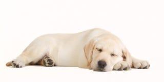 labradora szczeniaka sypialny kolor żółty Obrazy Stock