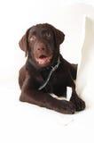 Labradora szczeniaka zerkanie out od białego papieru za fotografia stock