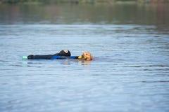 Labradora trakenu kobiety psi czysty szczeniak Fotografia Royalty Free