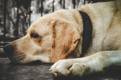 Labradora zwierzęcia domowego pies z brudno- białym colour obraz stock