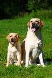 Labradorapportör-moder och hennes valp royaltyfria foton