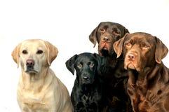 Labradorfamilj Arkivbilder