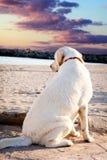 Labradorhond die het overzees en de zonsondergang bekijken Stock Afbeeldingen