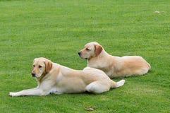 Labradorhond het rusten royalty-vrije stock afbeeldingen
