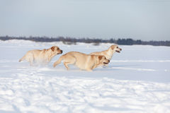 Labradorhonden Stock Afbeeldingen