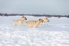 Labradorhonden Stock Foto