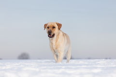 Labradorhonden Royalty-vrije Stock Foto's