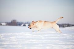 Labradorhonden Stock Fotografie