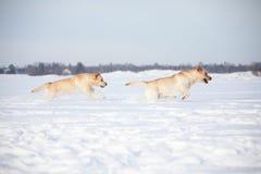 Labradorhonden Stock Afbeelding