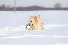 Labradorhonden Royalty-vrije Stock Foto