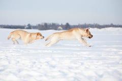 Labradorhonden Royalty-vrije Stock Afbeelding