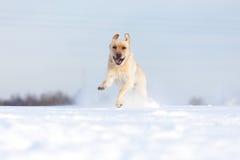 Labradorhonden Stock Foto's