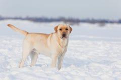Labradorhonden Royalty-vrije Stock Afbeeldingen