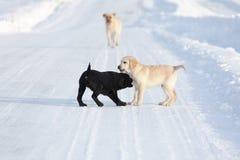 Labradorhonden Royalty-vrije Stock Fotografie