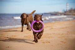 Labradorhonden die bij het overzees spelen Stock Foto