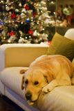 Labradorhund och julgran Royaltyfria Bilder