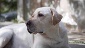Labradorhund som ligger på golvet som omkring håller ögonen på stock video