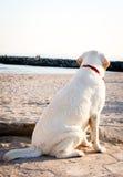 Labradorhund som ser havet och himlen Arkivfoto